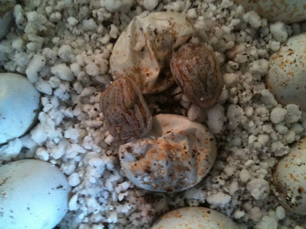 White Hypos hatching
